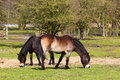 Two exmoor ponies Royalty Free Stock Images