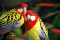 Two exotic birds looking camera Royalty Free Stock Photos