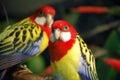 Exotic Birds Royalty Free Stock Photo