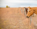 Two expectant horses Royalty Free Stock Photo
