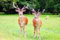 Two fallow deer on the glade Stock Photo