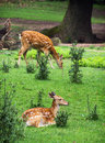 Two Fallow deers are resting and grazing Royalty Free Stock Photo