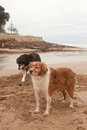 Two farm sheep dogs digging and playing beside a tidal lagoon at take time out from mustering to play dig beach Stock Image