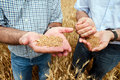 Two farmers with a grain of wheat in his hands. Stock Image