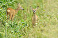 Two fawn deer Stock Image