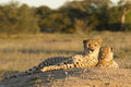 Two female cheetahs acinonyx jubatus south africa lying down Stock Images