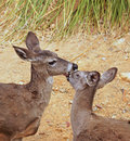 Two female deer help groom each other Royalty Free Stock Photography