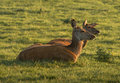 Two female red deer taking rest in the sunset light Royalty Free Stock Image