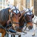 Two fiaker carriage horses on Stephansplatz, Vienna, Austria Royalty Free Stock Photo