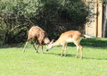 Two fighting antelopes red lechwe Royalty Free Stock Photo