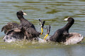 Two fighting black coot birds with water drops