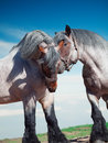 Two fighting brabant stallions. Royalty Free Stock Photo