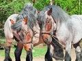 Two fighting brabant stallions. Royalty Free Stock Photo