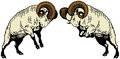 Two fighting rams Royalty Free Stock Photo