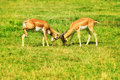 Two fighting reddish-brown antelopes on the grass. Royalty Free Stock Photo
