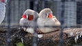 Two finches on a branch Royalty Free Stock Photo
