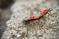 Two Fire Bugs macro Royalty Free Stock Photo