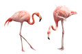 Two flamingo Royalty Free Stock Photo