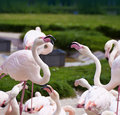 Two flamingos dispute with aggressive mood surrounded by other birds arguing aggressively while others around seem to participate Royalty Free Stock Photos