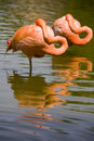 Two flamingos resting Stock Photo