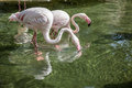 Two flamingos in the water Stock Photos