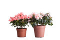 Two flower pot with the blossoming pink azaleas of a different grade a nabely background Royalty Free Stock Photography