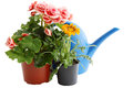 Two flowers in pots blue watering can and Stock Photo