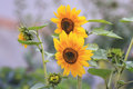 Two flowers of sunflowers Royalty Free Stock Photo