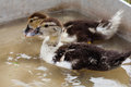 Two fluffy duckling swimming. one of the ducks drinking eating water. close-up, soft focus Royalty Free Stock Photo
