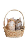 Two fluffy little kitten. Stock Image