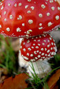 Two fly mushrooms in the autumn Stock Image