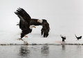 Two flying up Bald Eagles and two magpies. Royalty Free Stock Image