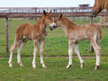 Two Foals Royalty Free Stock Photos