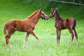 Two foals on the meadow cute standing together paddock Royalty Free Stock Photo