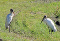 Two forest storks on food search in the field Royalty Free Stock Image