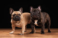 Two French bulldog puppies on black with wooden textu Royalty Free Stock Photography