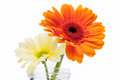 Two fresh gerbera daisies in a jar colourful vivid orange and yellow glass over white background Royalty Free Stock Photos