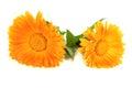 Two fresh orange marigold flowers Royalty Free Stock Photo