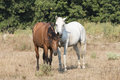 Two Friendly Horses Royalty Free Stock Photo