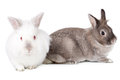 Two friendly little easter bunnies sitting side by side with the white one facing the camera and the little grey cottontail in Royalty Free Stock Photo