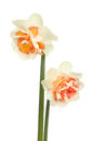 Two frilly daffodils white and orange daffodil flowers isolated against white Royalty Free Stock Images