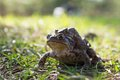 Two frogs - european toad (couple) Royalty Free Stock Photo