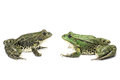 Two frogs are sitting opposite each other across from on a white background Royalty Free Stock Photo