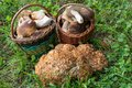 Two full baskets with edible mushrooms and cauliflower fungus Royalty Free Stock Photo