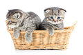 Two funny cats kittens in wicker basket small Stock Photography
