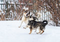 Two funny dogs are running happily over the white snow