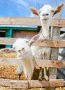 Two funny goats on farm barn blue sky ukraine Stock Image