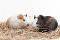 Two funny hamsters on white background nice hamster sitting hay Royalty Free Stock Photography