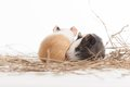 Two funny hamsters on white isolated background hamster closeup sitting hay Stock Photo