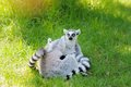Two funny lemurs embracing outdoors Stock Photo